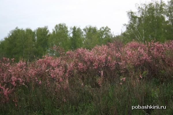 Цветы Башкирии в мае