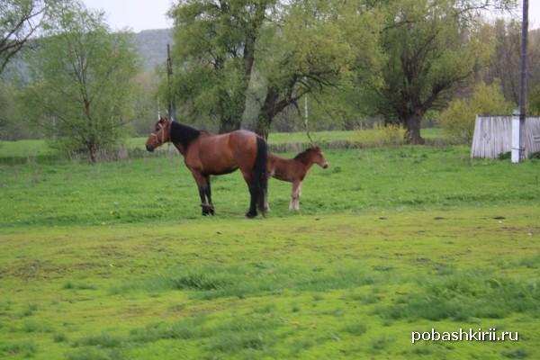 Сельские лошади башкирские
