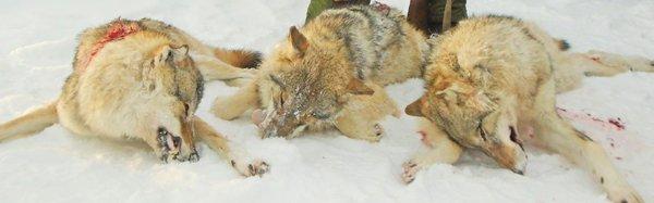 Волки Урала
