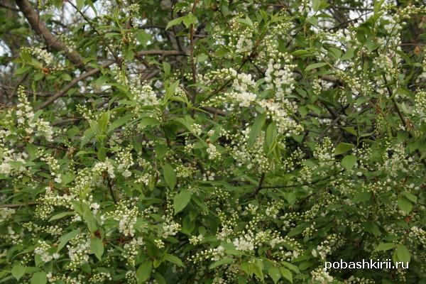 Башкирия: черемуха цветет!