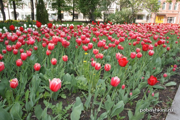 Уфа, тюльпаны в парке