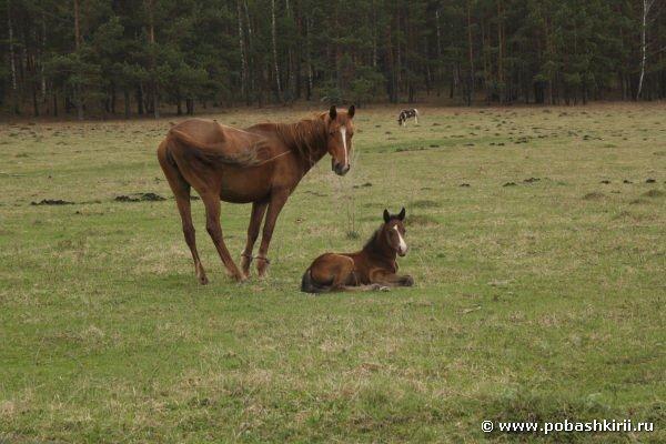 Башкирская лошадь и жеребенок